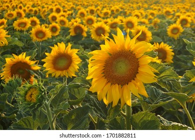 Wonderful field of yellow blooming sunflowers in summer