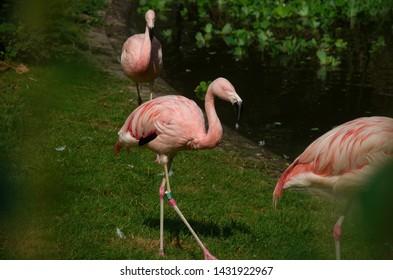 Wonderful flamingo birds by lake