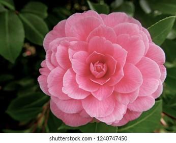 wonderful flower of camellia that looks like a geometric design
