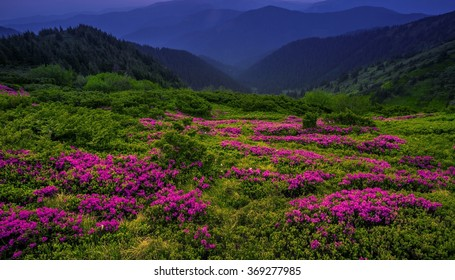 wonderful flowering rhododendrons most beautiful ridge in the Ukrainian Carpathians mountains, Marmarosy, Ukraine, Romania, Europe