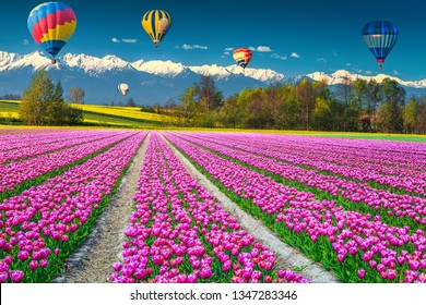 Wonderful flowery nature landscape and travel concept. Spectacular yellow colza and tulip fields with colorful hot air balloons, near Sibiu, Transylvania, Romania, Europe