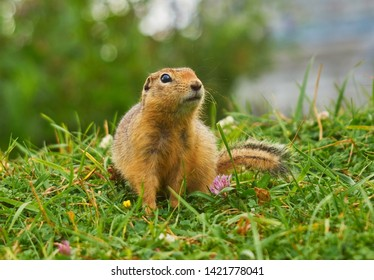 wonderful fluffy gopher sitting in the grass next to a flower