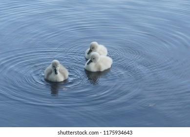 wonderful fluffy mini swans