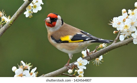 Wonderful Goldfinch over branches of tree