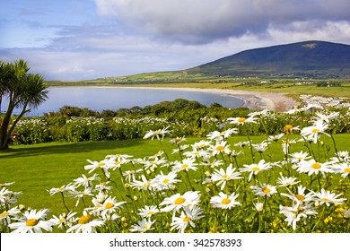 Wonderful landscape in Ventry, near Dingle in Ireland. Sandy bay is shown between joyful dasies on the foreground and a dark mountain on the background.