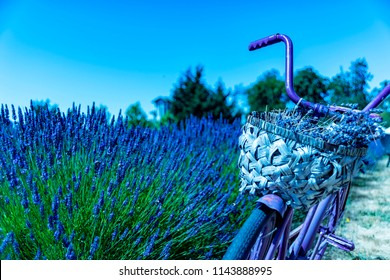 Wonderful Lavender Festival Series - Beautiful lavender flower with old bike in  field 2.