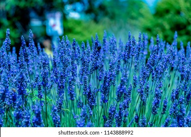Wonderful Lavender Festival Series - Fresh and beautiful lavender flower in the garden.