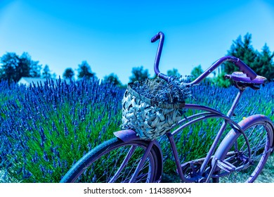 Wonderful Lavender Festival Series - Old  bike stand front of lavender field.