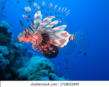 wonderful lion fish with pretty looking