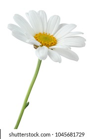 Wonderful Lovely Daisy (Marguerite) isolated on white background, including clipping path. Germany