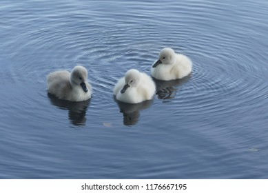 wonderful mini swans
