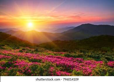 wonderful mountains Ukrainian sunrise  landscape with blooming rhododendron flowers, summer sunrise scenery, colorful summer scene, travel, Ukraine, Europe,  beauty world