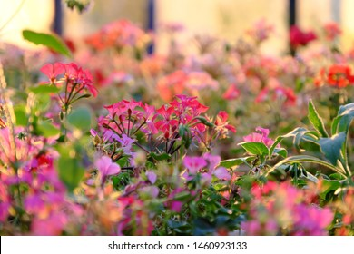 Wonderful nature background of colorful geranium flower blossom vibrant in ornamental plant garden, beautiful color by backlight effect at sunset, Da Lat