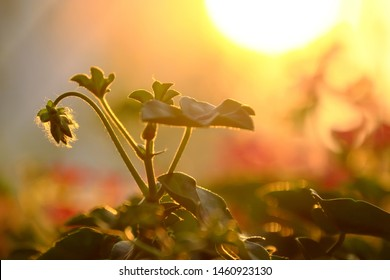 Wonderful nature background at sunset, close up geranium flower buds lower head white leaves rise under yellow sun with bright sunlight