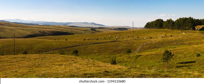 Wonderful nature view of Zlatibor mountain, and there are some little cows od the medow and some forest, and sky and electric post