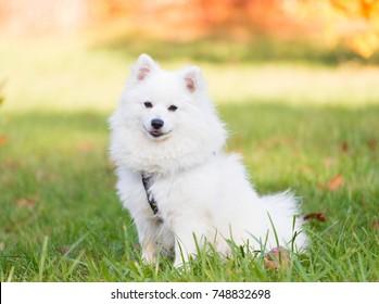 Wonderful one white Japanese Spitz dog in nature background. Animals life. Family fun puppy pet. Close up.