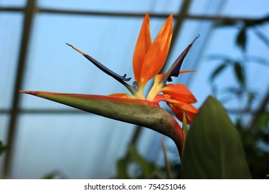 Wonderful orange strelizia.