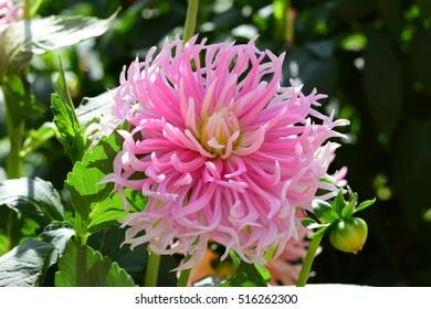 Wonderful pink dahlia