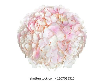 Wonderful pink hydrangea isolated on a white background
