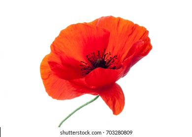 wonderful poppy flower. petals closeup