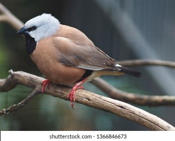 Wonderful Princely Black-Throated Finch with Elegant Sumptuous Plumage.