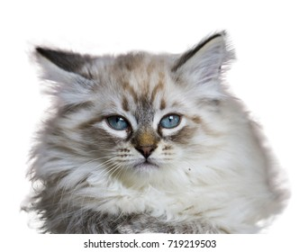 Wonderful puppy cat of siberian breed, white neva masquerade version with blue eyes. Adorable cat