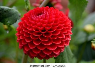 wonderful red dahlia flower close-up virw