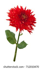 Wonderful red dahlia isolated on a white background