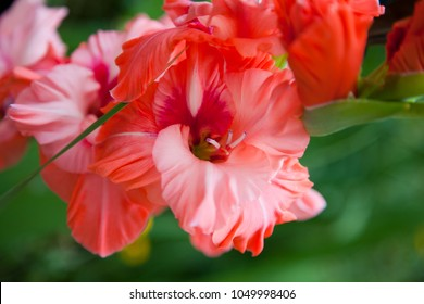 Wonderful red gladiolus flowers. Plant from the Botanical Garden