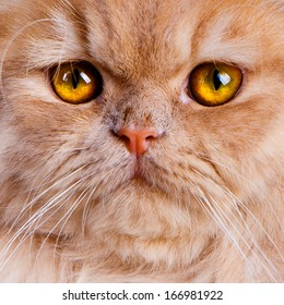 Wonderful red persian cat close up with intense yellow eyes.