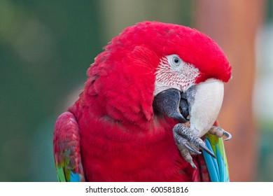 Wonderful red plumage despite its name