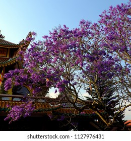 Wonderful scene at temple in springtime, big flamboyant tree with vibrant violet flower up to sky at Da Lat, Vietnam