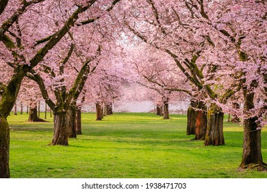 Wonderful scenic park with rows of blossoming cherry sakura trees and green lawn in springtime, Germany. Sakura Cherry blossoming alley. Pink flowers of cherry tree.