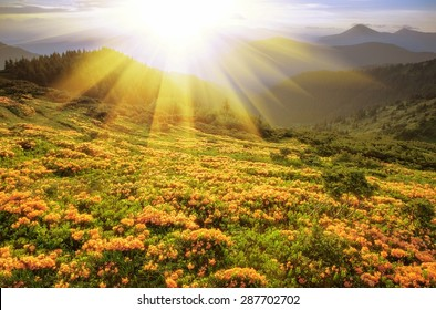 wonderful spring flowering rhododendrons most beautiful ridge in the Ukrainian Carpathians mountains,  colorful spring picture, Ukraine, Romania,  Marmarosy ridge,  Europe mountains .