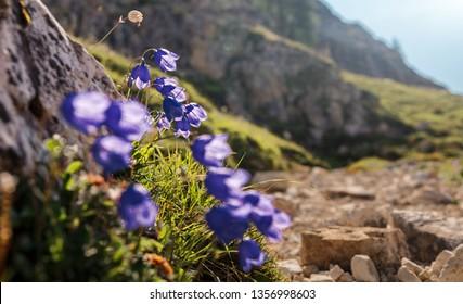 Wonderful Spring flowers at Tre Cime di Lavaredo National park under sunlit. Awesome Alpine highlands in sunny day. Amazing Summer Landscape of Dolomites Alps. Beautiful nature background