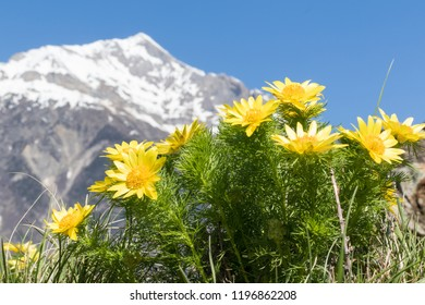 Wonderful spring pheasant's eyes with the Swiss alps in the background