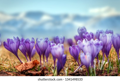 Wonderful spring view of Alpine crocuses blossom in the mountains of the Carpathians on top of the mountain. Fresh beautiful purple crocuses. Flowering blue crocus in spring. amazing nature scene.