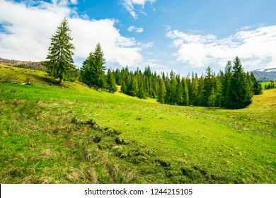wonderful springtime weather in mountains. spruce forest on a grassy meadow. wonderful and bright weather with some fleecy clouds on a blue sky