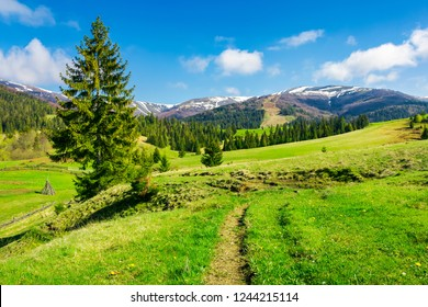 wonderful springtime weather in mountains. spruce trees on a grassy meadow. mountain ridge in the distance with snowy tops