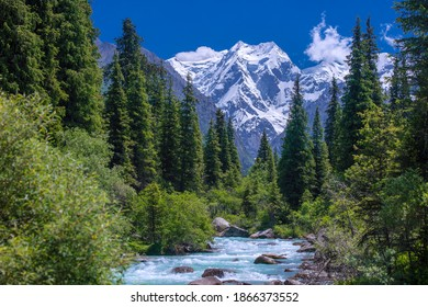 Wonderful spruce forest near the stormy river in Kyrgyzstan against the background of snow-covered mountains.