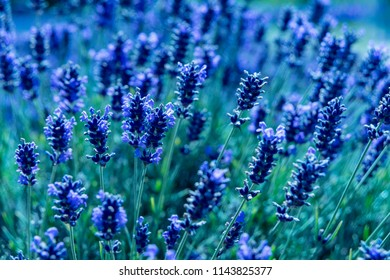 Wonderful summer Lavender Festival Series - beautiful lavender flower in the summer.