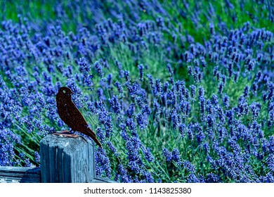 Wonderful summer Lavender Festival Series -Black Crow Sculpture on the pole  in lavender garden.