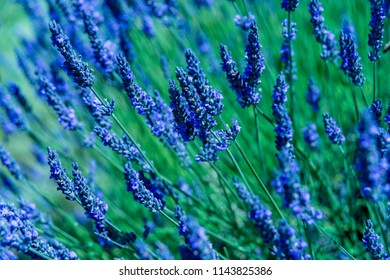 Wonderful summer Lavender Festival Series - Beautiful Lavender flower in the garden.