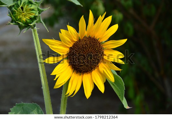 wonderful-sun-flower-blossom-600w-179821