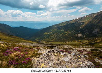 wonderful sunny day, beautiful landscape in the mountains with blooming pink flowers on hills of Karpaty, amazing nature floral background, Ukraine, Europe