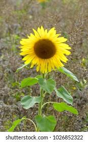 wonderful sunny sunflower