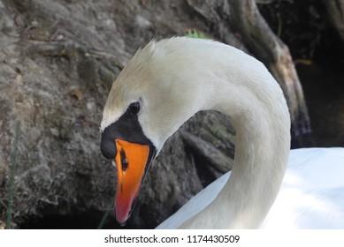 a wonderful swan