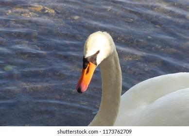 wonderful swan is resting