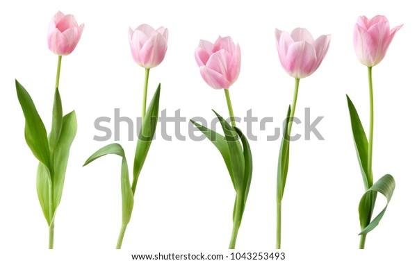 Замечательные тюльпаны (семья Лили, Liliaceae), изолированные на белом фоне, в том числе обрезка пути. Германия