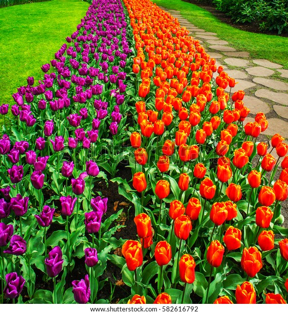 Wonderful tulips spectacle at the  Keukenhof Gardens.